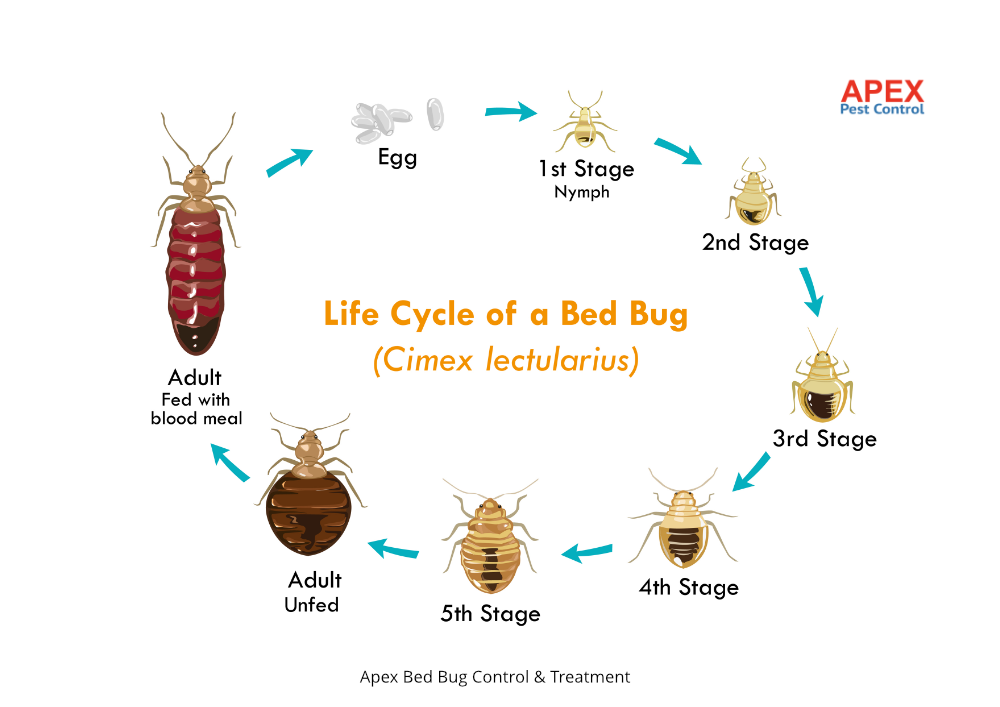 Cimex lectularius lifecycle