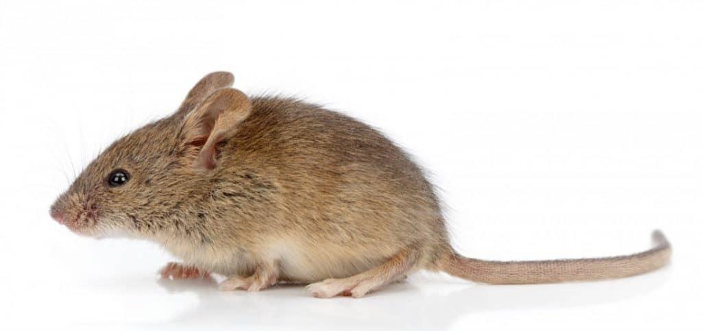 Mouse exterminator near me