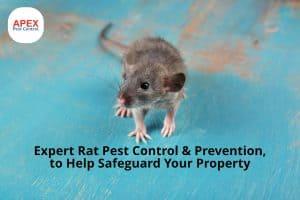 Rat pest control - brown rat walking on table