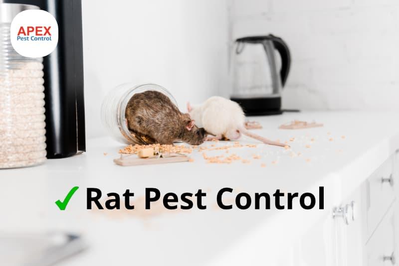 rat pest control - rats in kitchen