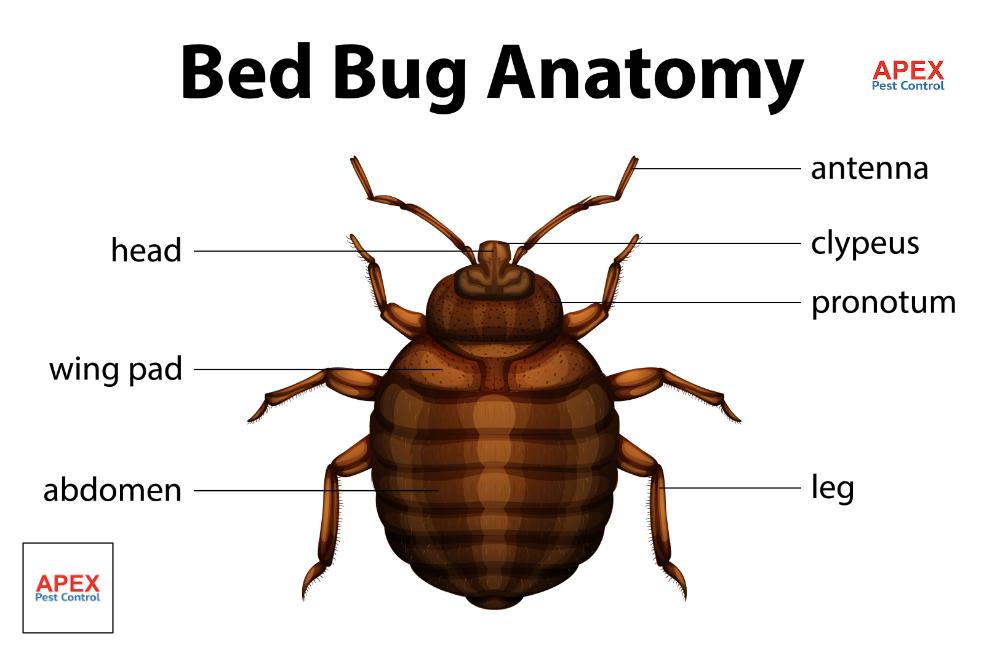 bedbug anatomy