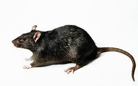 black rat control