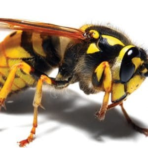 business pest control wasps