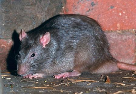 Pest rat Control