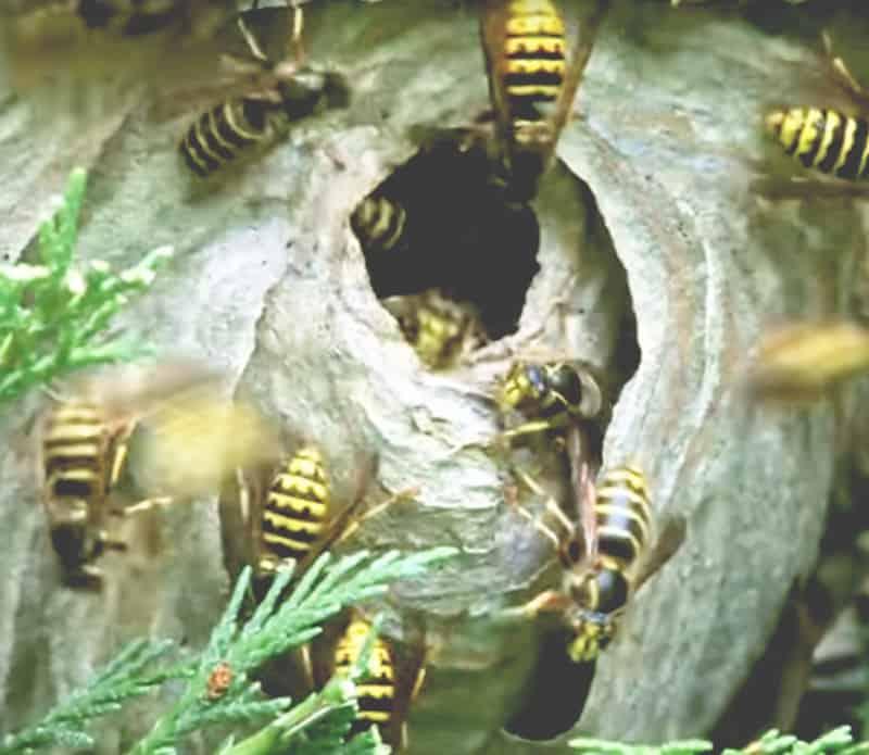 pest control wasps nest on property.
