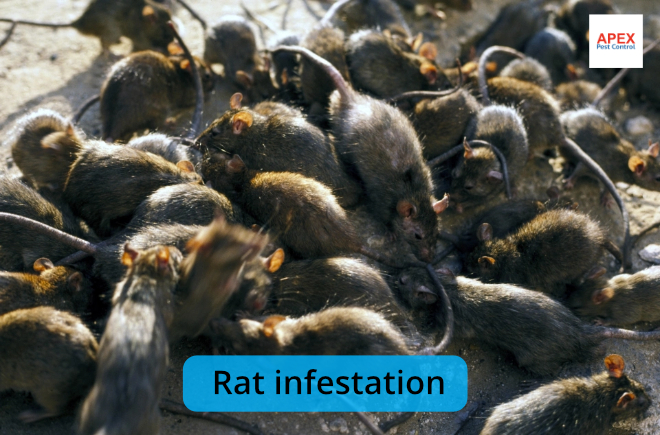 rat infestation