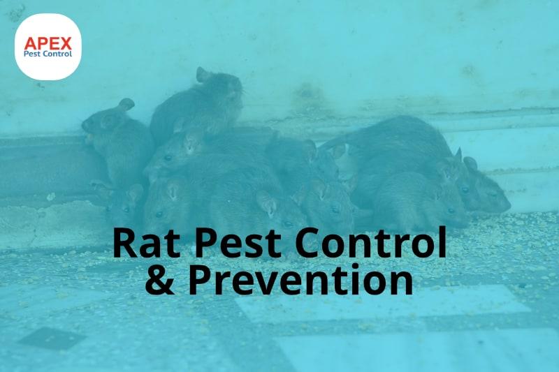rat pest control - rat removal